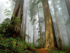 Redwoods (Sequoioideae)