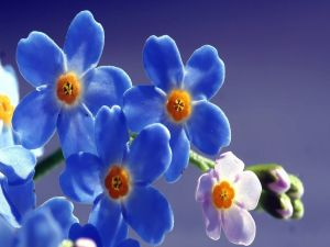 Forget-me-not flowers (Myosotis)