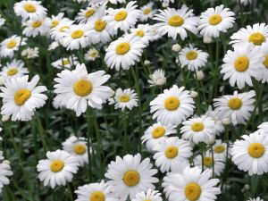 The simplest of the flowers: the daisy