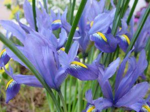 Spanish Iris (Iris xiphium)