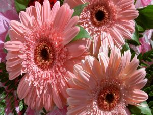 Gerberas of pink color