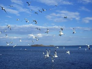 Gulls over blue waters