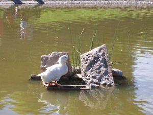 A white duck