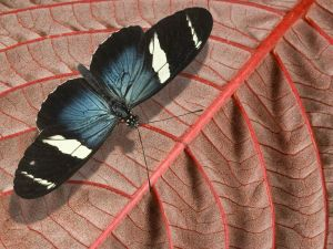 """Sara Longwing"" (Heliconius) Butterfly"