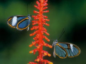 Glasswinged butterflies (Greta oto)