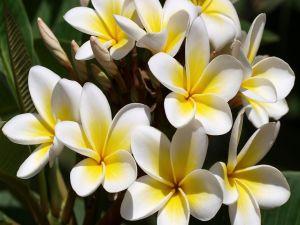 Plumeria (or Frangipani)