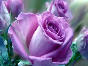Roses with lilac petals