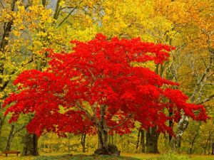 Tree with red leaves in Newhalem, Washington
