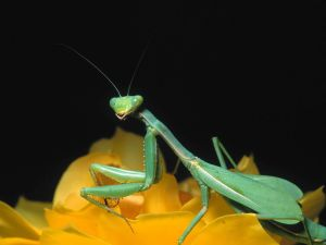 Mantis on a yellow rose
