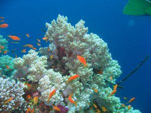 Corals and orange fish