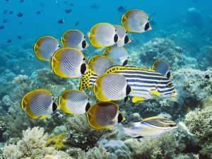 Butterflyfishes of Bali (Indonesia)