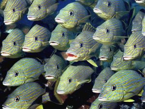 Shoal of fish yellow with blue stripes