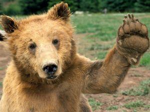 Bear saluting