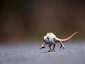 A chameleon in motion