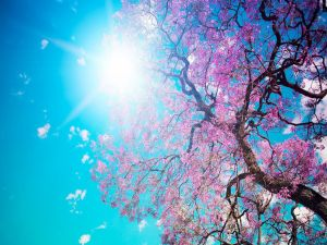 The beauty of a cherry blossom