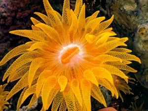 Cup coral (Balanophyllia), a species of stony coral