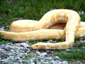 Albino Burmese Python (Python molurus bivittatus)