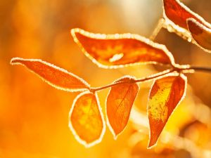 Golden leaves to the sunlight