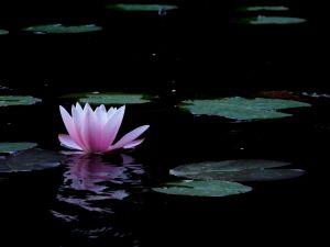 Nelumbo nucifera or sacred lotus