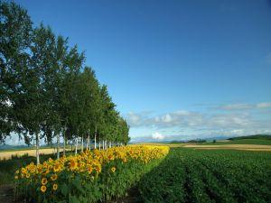 Plantation of sunflowers