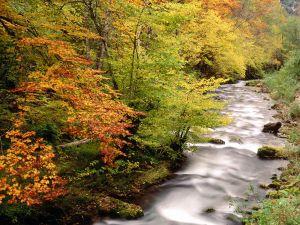 Beech trees to the Saliencia riverbank, Somiedo Natural Park (Asturias, Spain)