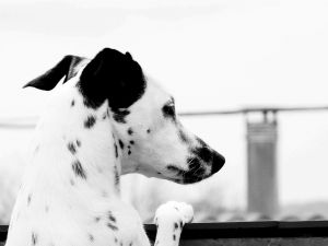 A thoughtful dalmatian