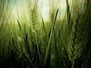 Green wheat harvest