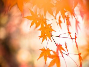 Golden leaves of Japanese Maple