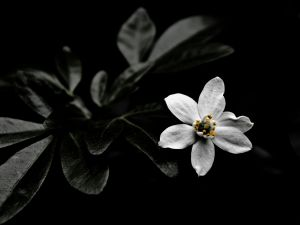 A white flower in the dark