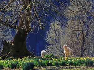 A pair of lambs among flowers