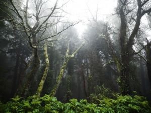 Trees seeking the light, in a forest between Sintra and Cascais, Portugal
