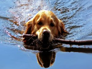 Dog in the water carrying a stick