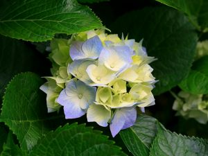 Hydrangea (hortensia) blue and yellow