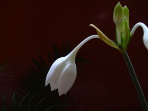 Eucharis amazonica (Amazon lily)