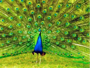 Peacock exhibiting his plumage