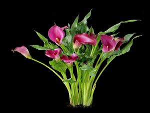 "Zantedeschia aethiopica (commonly called ""calla lily"")"