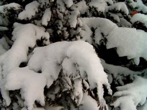 Snow on the branches of a pine