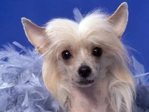 Chinese Crested (breed of dog)