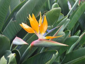 Bird of Paradise (Strelitzia reginae)