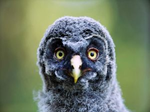 Chick owl with big eyes