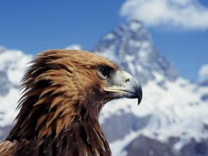 Eagle in the mountain
