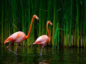 Flamingos walking in the water