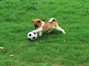Doggy playing to football