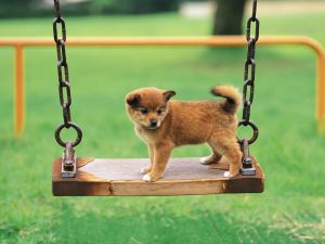 Puppy on a swing