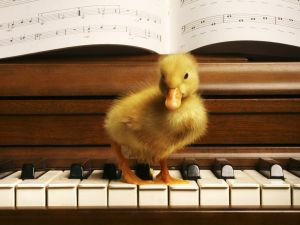 Duckling on the keyboard of a piano
