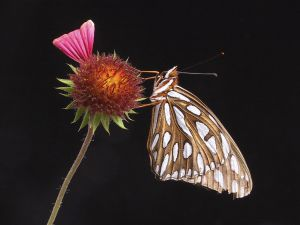A golden butterfly, with white spots, on a flower