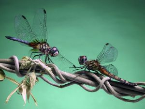 Two dragonflies on a branch