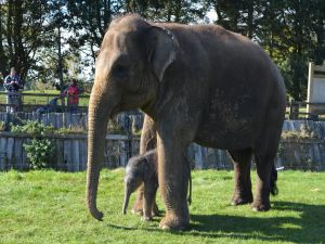 Family of Asian elephants in a zoo