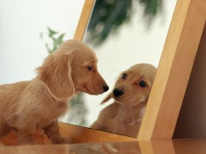 Dachshund puppy looking in the mirror