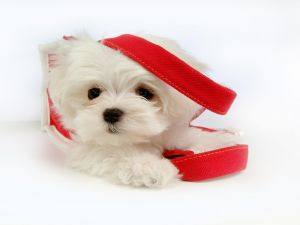 Maltese White Puppy